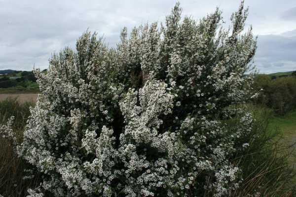 Kunzea ericoides (kanuka)