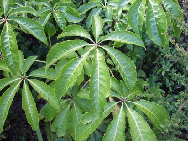 Schefflera digitata (seven-finger; pate; patete)