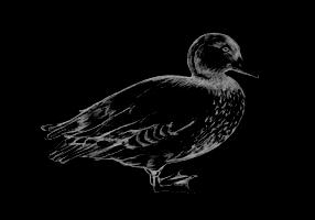 Blue-Duck (1)